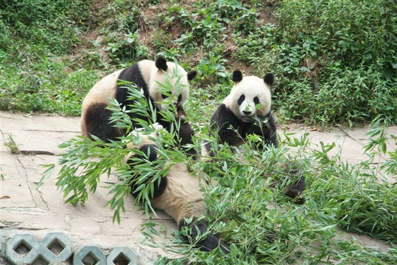 Chengdu Panda Breeding and Research Center